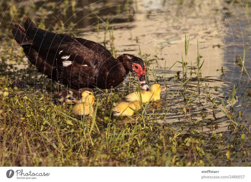 Mutter und Baby Muskovy Entenküken Cairina moschata Sommer Eltern Erwachsene Familie & Verwandtschaft Natur Tier Teich Nutztier Wildtier Vogel Schwarm