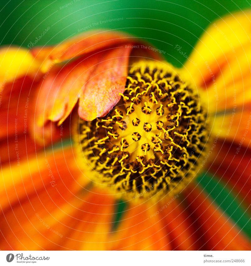 Schlappohrblümchen schön Freiheit Garten Umwelt Natur Pflanze Blume Blüte ästhetisch authentisch klein stachelig Energie Leichtigkeit Mittelpunkt Nektar