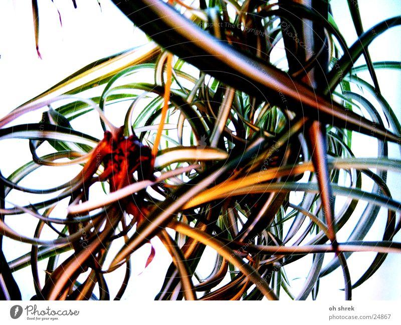 Blumenwirrwarr Pflanze Blatt durcheinander Lilien Grünlilie