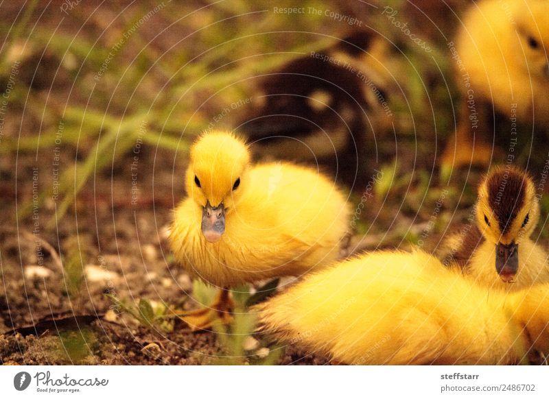 Baby Muskovy Entenküken Cairina moschata Sommer Familie & Verwandtschaft Natur Tier Teich Nutztier Wildtier Vogel Schwarm Tierjunges niedlich braun gelb Küken
