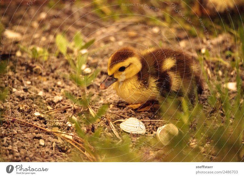 Baby Muskovy Entenküken Cairina moschata Sommer Familie & Verwandtschaft Natur Tier Teich Nutztier Wildtier Vogel 1 Tierjunges niedlich braun gelb Küken