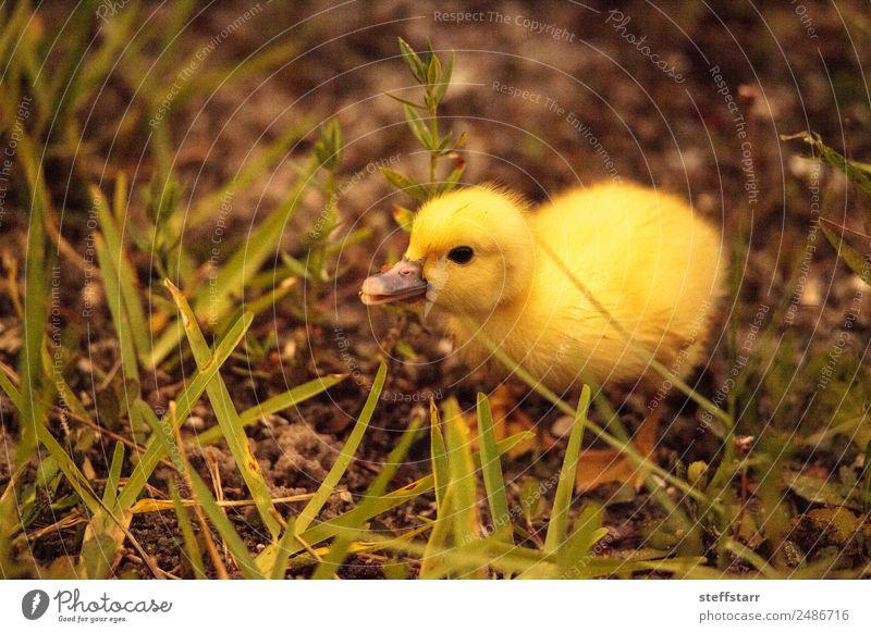 Baby Muskovy Entenküken Cairina moschata Sommer Familie & Verwandtschaft Natur Tier Teich Wildtier Vogel 1 Tierjunges niedlich gelb Küken Jungvogel unscharf