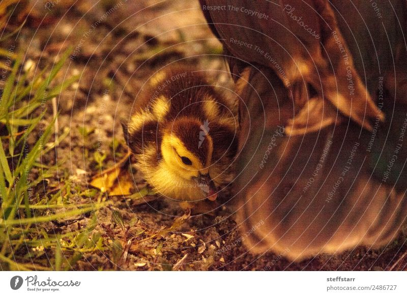 Baby Muskovy Entenküken Cairina moschata Sommer Familie & Verwandtschaft Natur Tier Teich Nutztier Wildtier Vogel Tierjunges niedlich Küken Jungvogel unscharf