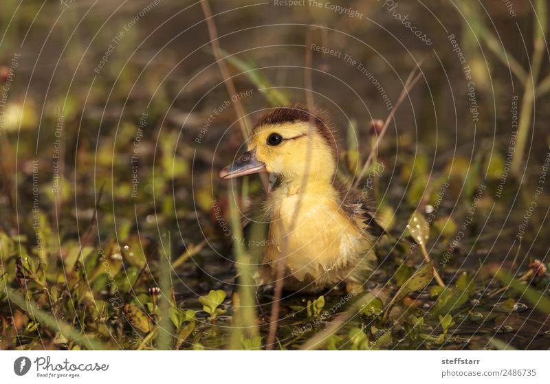 Baby Muskovy Entenküken Cairina moschata Sommer Mutter Erwachsene Familie & Verwandtschaft Natur Tier Teich Nutztier Wildtier Vogel 1 Tierjunges niedlich gelb
