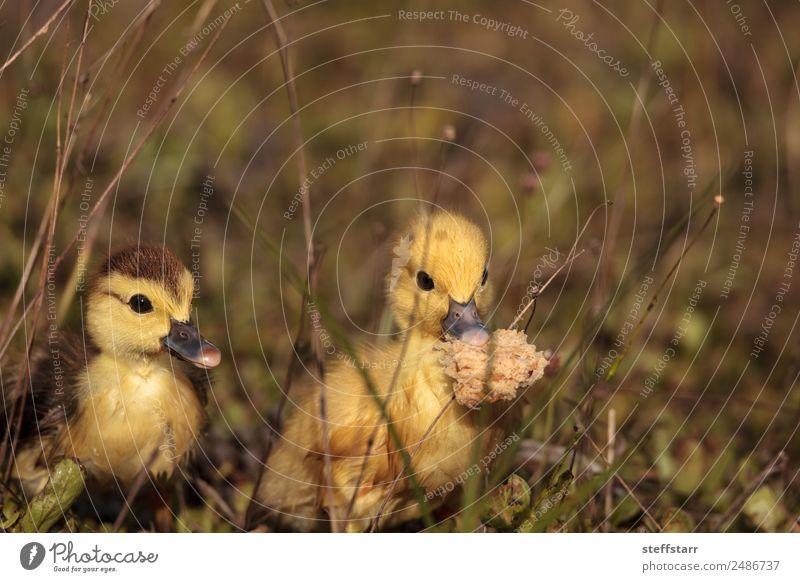 Baby Muskovy Entenküken Cairina moschata Lebensmittel Brot Sommer Mutter Erwachsene Familie & Verwandtschaft Natur Tier Teich Wildtier Vogel 2 Tierjunges
