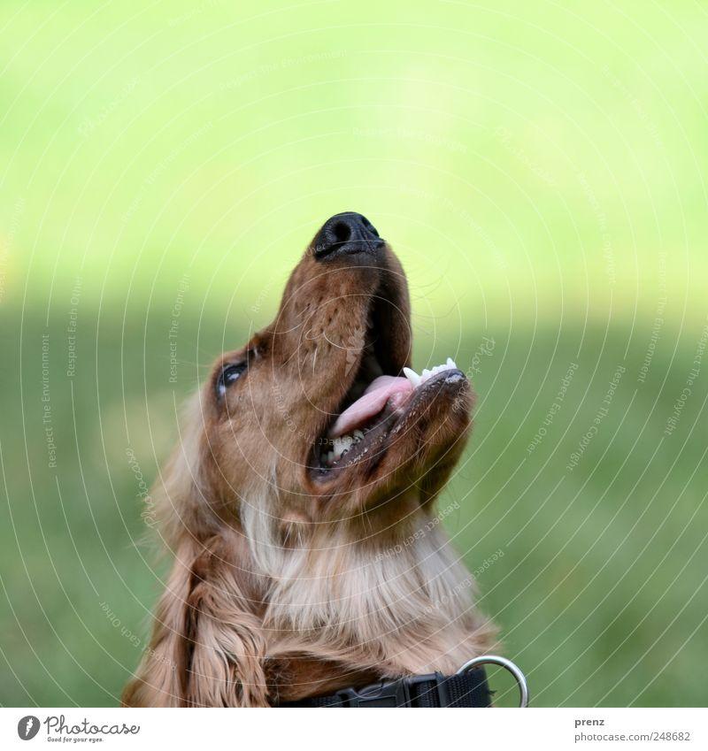 Hund guck in die Luft Tier Park Haustier 1 Blick braun grün Cocker Spaniel Rassehund Jagdhund Tierporträt Kopf Schnauze Farbfoto Außenaufnahme Menschenleer Tag