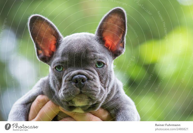 """eine sehr junge Französische Bulldogge Tier Sommer Haustier Hund """"Bulldogge Welpe"""" 1 Tierjunges beobachten frech Freundlichkeit Gefühle Vertrauen Gelassenheit"""