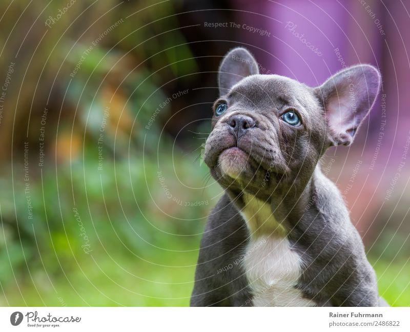 """eine sehr junge Französische Bulldogge Tier Haustier Hund 1 Tierjunges sitzen natürlich Neugier Vertrauen Freundschaft Liebe Tierliebe """"Haustier"""
