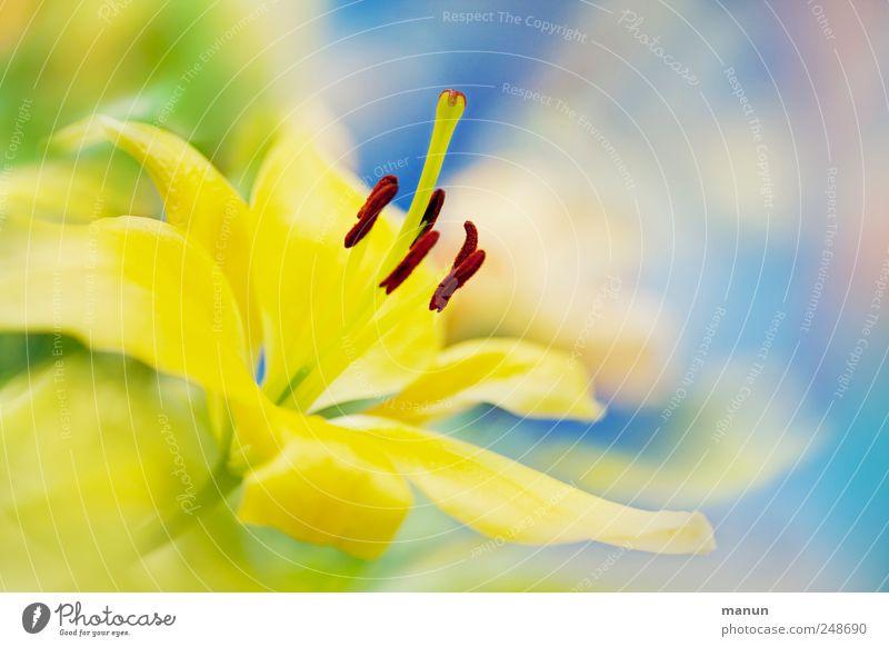 gelbe Lilie Natur Blume Blüte Lilienblüte Blühend hell natürlich schön hell-blau zartes Grün Farbfoto Innenaufnahme Menschenleer Textfreiraum rechts Kontrast
