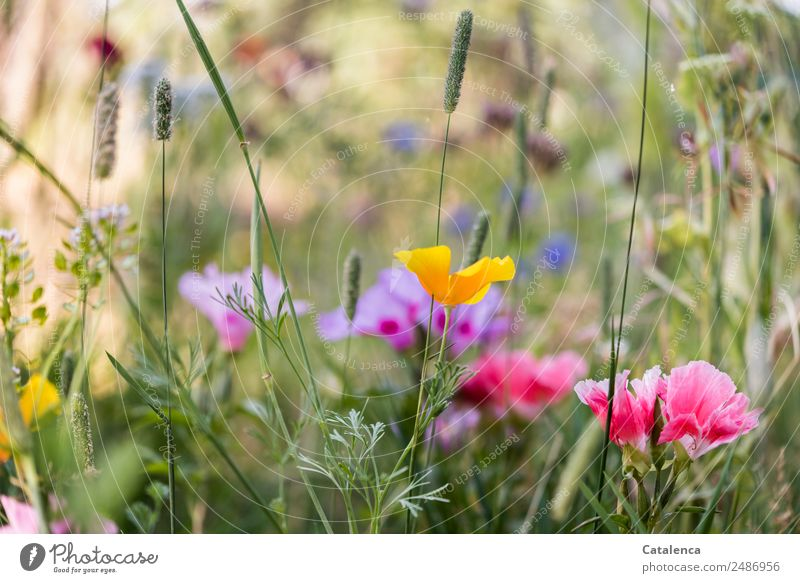 Blumenmischung II Natur Pflanze Sommer Gras Blatt Blüte Wildpflanze Mohn Kornblume Phlox Garten Wiese Blühend Duft verblüht dehydrieren Wachstum ästhetisch
