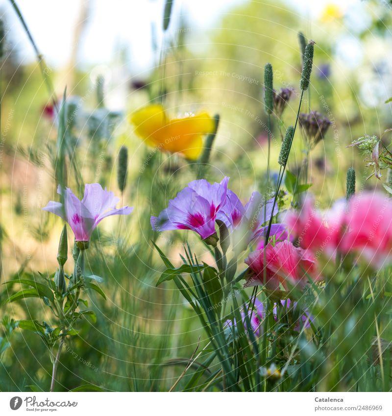 Sommerblumenwiese Natur Pflanze schön grün Blume Blatt gelb Blüte Wiese Gras rosa Stimmung Wachstum Fröhlichkeit Schönes Wetter