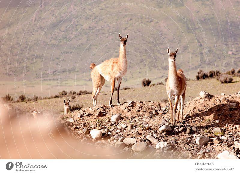 Guanacos Natur Tier Umwelt Landschaft Berge u. Gebirge Sand Stein warten Wildtier Urelemente beobachten Wüste exotisch Sommerurlaub Dürre Fjord