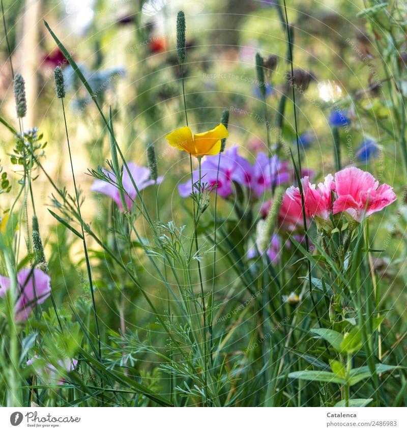Farbig Natur Pflanze Sommer Schönes Wetter Blume Gras Blatt Blüte Wildpflanze Mohnblüte Malvengewächse Ackerhellerkraut Kornblume Garten Wiese Blühend Duft