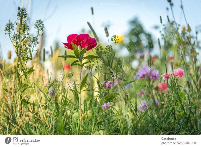 Sommerblumen Natur Pflanze Wolkenloser Himmel Schönes Wetter Blume Gras Blatt Blüte Wildpflanze Mohn Phlox Schlüsselblumengewächse Garten Wiese Blühend Duft