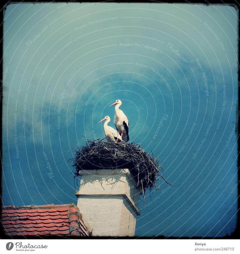 Zwillinge Wildtier Vogel Storch 2 Tier Tierpaar warten Nest Dach Schornstein Außenaufnahme Menschenleer Textfreiraum oben Tag