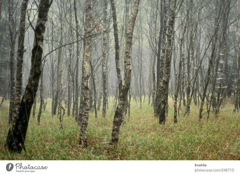 Birkenwald Ausflug wandern Umwelt Natur Landschaft Pflanze Herbst schlechtes Wetter Nebel Baum Gras Grünpflanze Bewegung entdecken Erholung gehen genießen