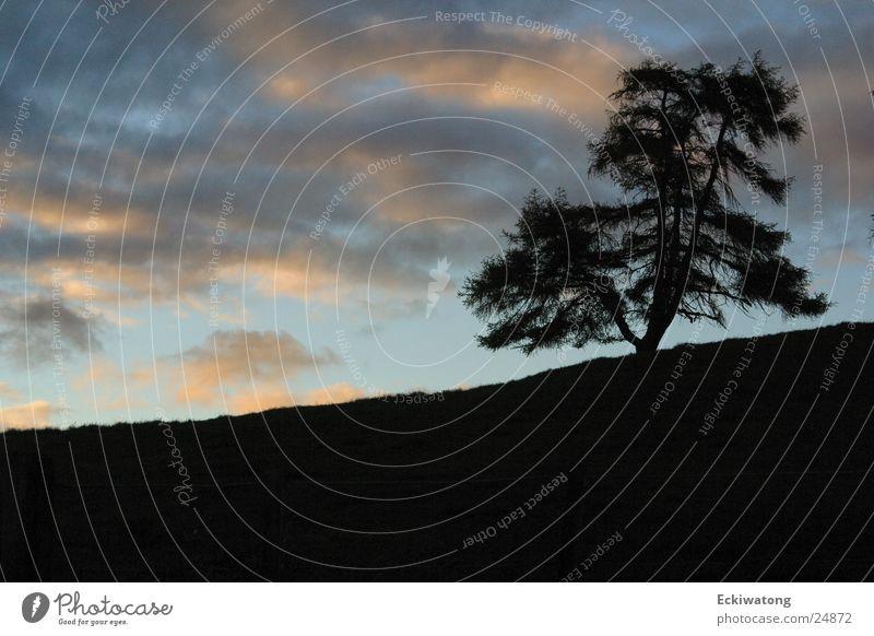Irgendwo in Neuseeland Himmel Baum Wolken Abenddämmerung Fichte
