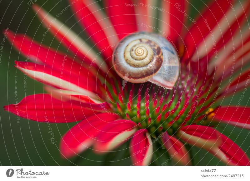 purpur sonnenhut Umwelt Natur Pflanze Sommer Blume Blüte Sonnenhut Roter Sonnenhut Garten Blühend grün rot Schutz Symmetrie Kontrast Strukturen & Formen Spitze