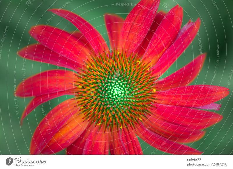 roter Sonnenhut Natur Pflanze Sommer Blume Blüte Roter Sonnenhut Garten Blühend Duft ästhetisch schön grün orange Design Symmetrie Muster Farbfoto Außenaufnahme