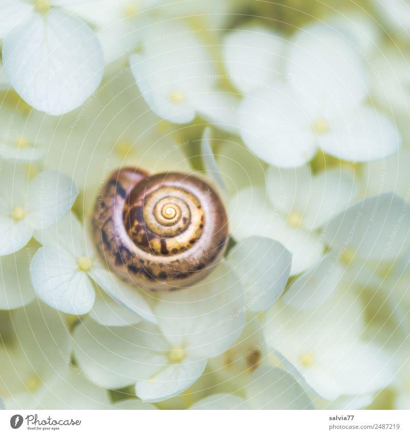 schöner wohnen Umwelt Natur Sommer Pflanze Blume Blüte Hortensienblüte Garten Tier Schnecke Schneckenhaus 1 rund weich braun weiß ruhig Schutz Spirale