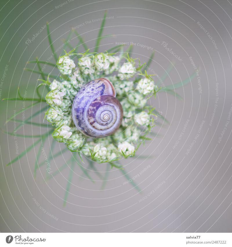 schmuckes Körbchen Umwelt Natur Sommer Pflanze Blume Blüte Wildpflanze Wilde Möhre Doldenblütler Garten Wiese Tier Schnecke 1 ästhetisch oben rund Schutz