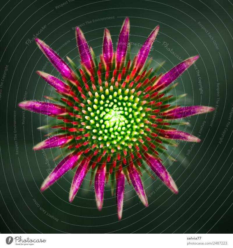 Blütenstern harmonisch Sinnesorgane Duft Tier Sommer Pflanze Blume Sonnenhut Roter Sonnenhut Garten Blühend ästhetisch rund schön Spitze grün violett rot Design