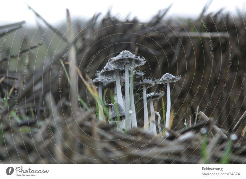Die Beatles Herbst Pilz Stroh