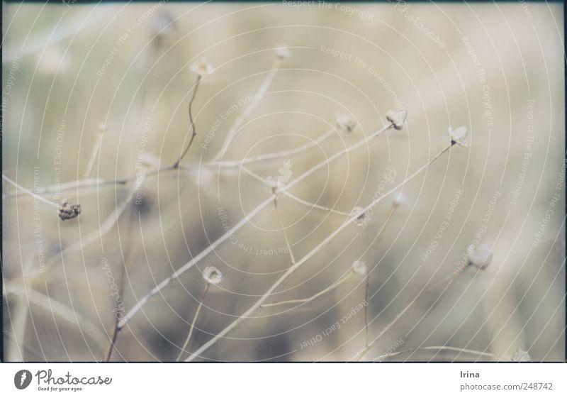 Herbstvorbereitungen Natur Pflanze Blüte Wildpflanze verblüht dehydrieren ästhetisch trocken grau analog vertrocknet Dia Wiese Gedeckte Farben Außenaufnahme