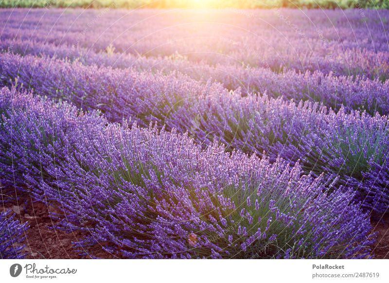 #A# Lila Morgen Umwelt Natur Landschaft Pflanze Klimawandel Schönes Wetter Feld ästhetisch Lavendel Lavendelfeld Lavendelernte violett Provence Frankreich Duft