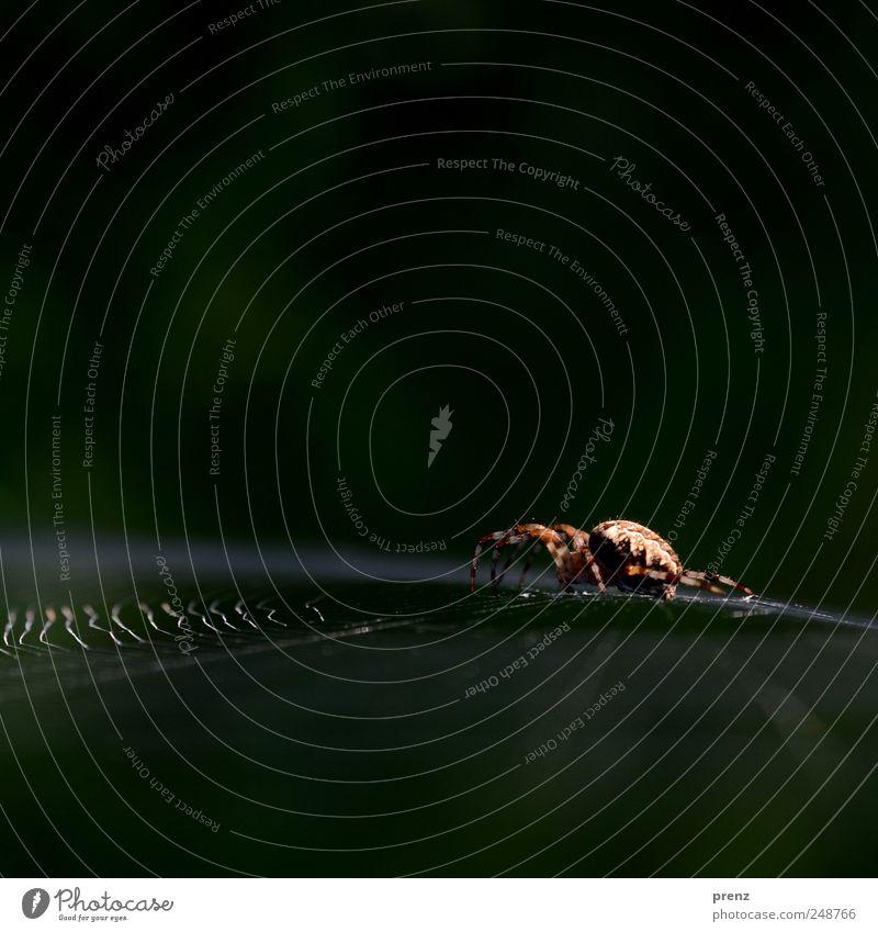 spinne Tier Wildtier Spinne 1 Netz krabbeln sitzen gruselig braun grün Spinnennetz Insekt Spinngewebe Linie Nahaufnahme Farbfoto Außenaufnahme Menschenleer