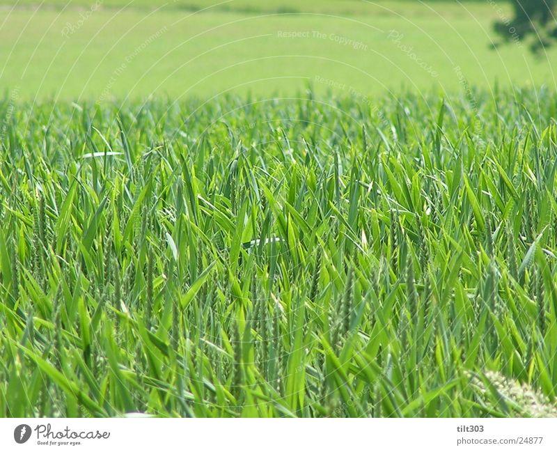 gras grün und saftig Gras