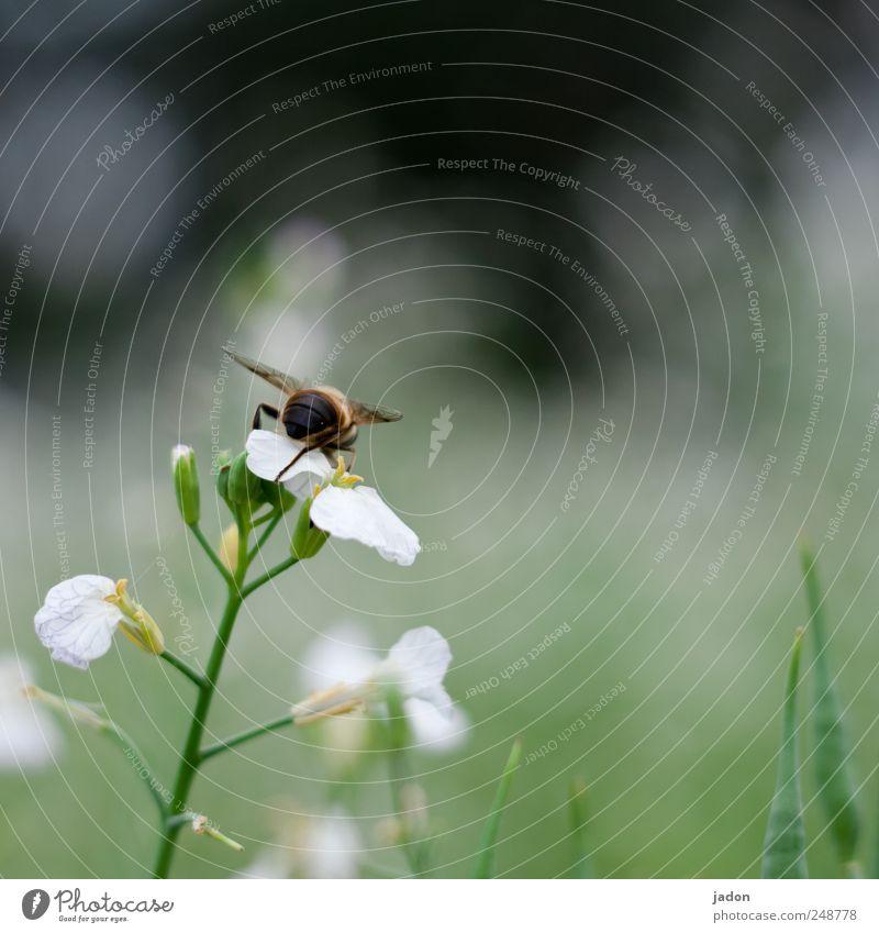 die emsige. Natur Pflanze Tier Blume Feld Biene 1 natürlich fleißig Insekt Sammlung Textfreiraum rechts Tierporträt