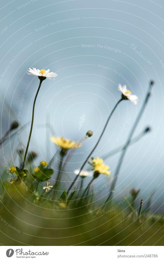 langhals Himmel grün Pflanze Sommer Wiese Umwelt Gras Gänseblümchen