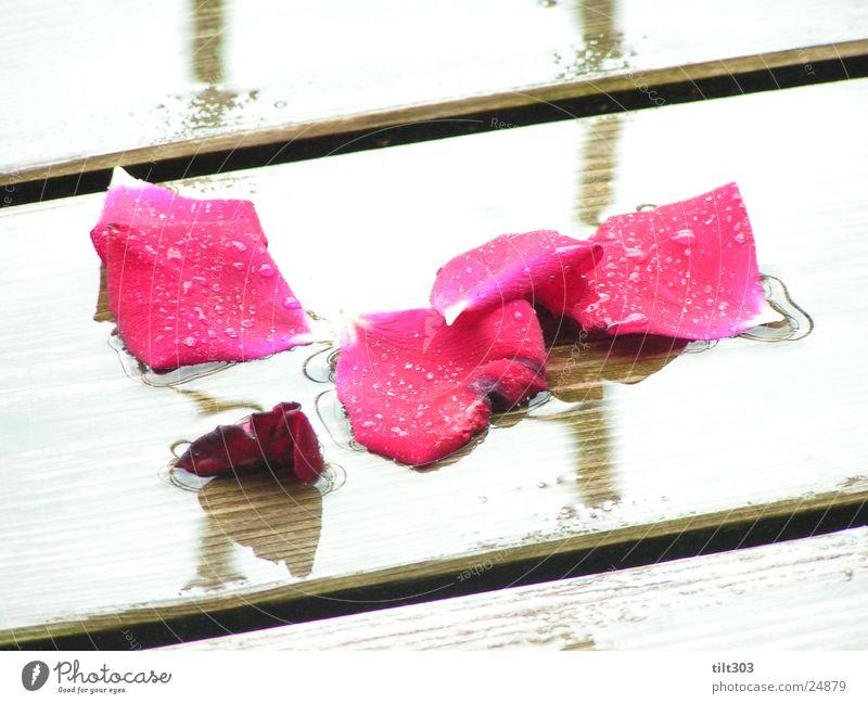 Rosenblätter Rose Rosenblätter