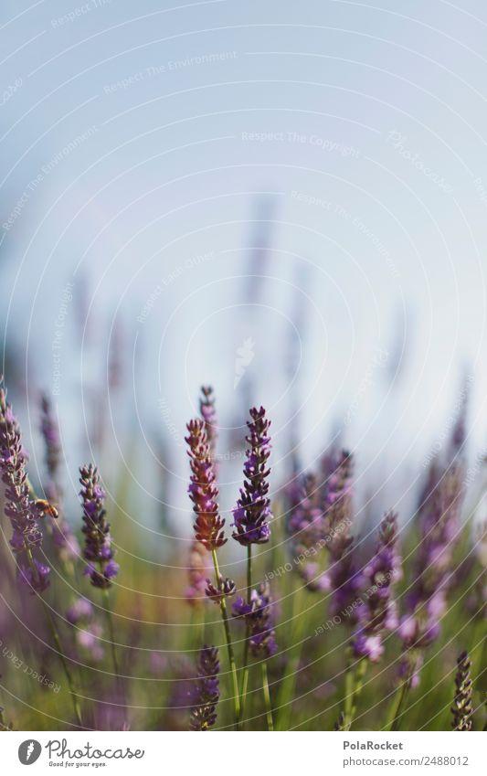 #A# Close to Nature Umwelt Landschaft Pflanze ästhetisch Blume Blühend Blühende Landschaften violett Lavendel Lavendelfeld Lavendelernte Provence Frankreich