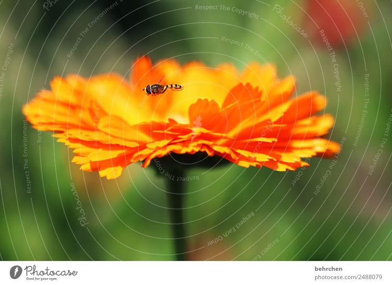 schwebend Natur Sommer Pflanze schön Blume Tier Blatt Wiese klein Garten orange fliegen Wildtier Blühend Flügel Duft