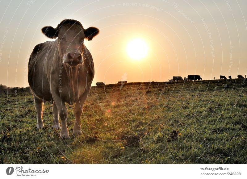 Dreaming of India Himmel Natur grün Sommer Tier gelb Umwelt Wiese Landschaft gold Tiergruppe Schönes Wetter Weide Kuh Landwirtschaft Wolkenloser Himmel