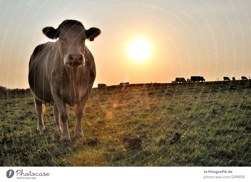 Dreaming of India Umwelt Natur Landschaft Himmel Wolkenloser Himmel Sommer Schönes Wetter Wiese Tier Nutztier Kuh 1 Tiergruppe gelb gold grün Weide Kuhherde