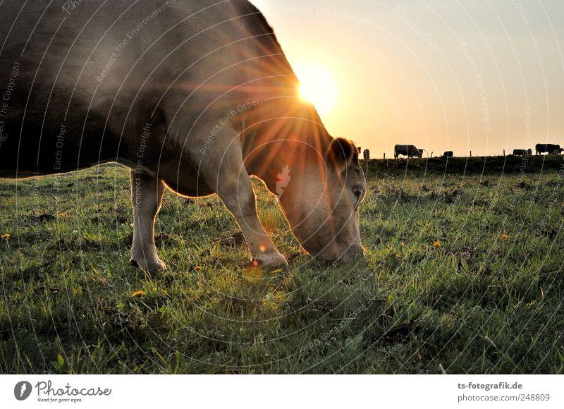 Dreaming of India II Natur grün Sonne Sommer Tier gelb Umwelt Wiese Landschaft Gras Horizont gold natürlich Tiergruppe Schönes Wetter Weide