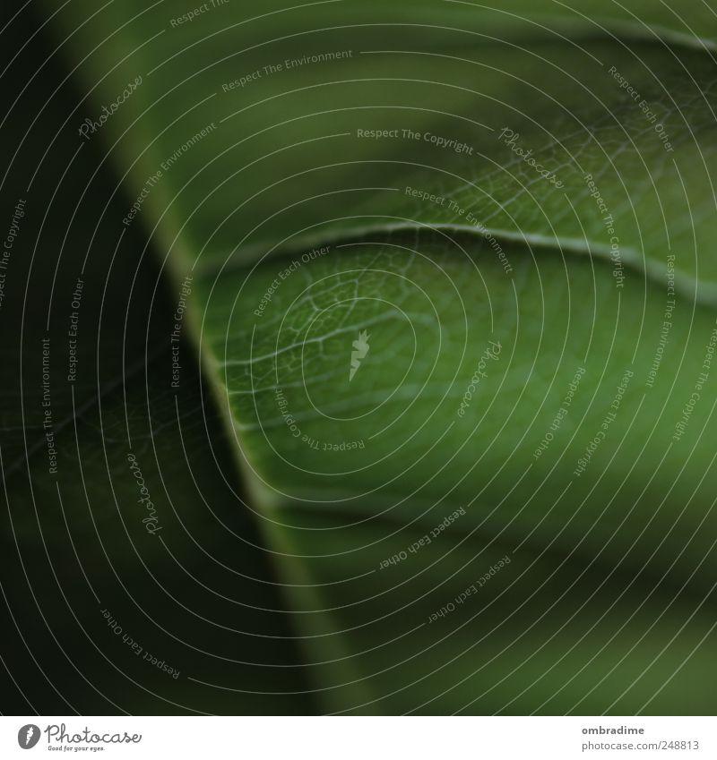 Lebenslinien Umwelt Natur Pflanze Blatt Grünpflanze Garten Park nah grün Blattadern Farbfoto Außenaufnahme Nahaufnahme Detailaufnahme Makroaufnahme