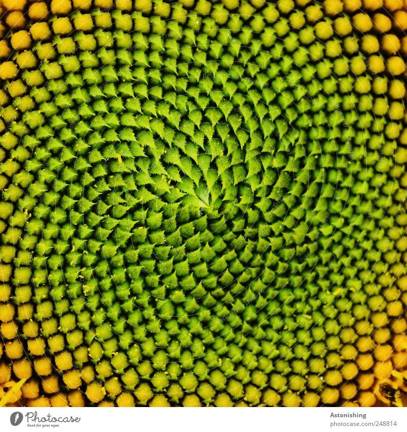 Muster Natur grün schön Pflanze Sommer Blume schwarz gelb Umwelt Feld gold außergewöhnlich Kerne Sonnenblume abstrakt Samen