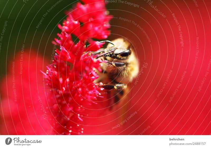 kleine wichtigkeit Natur Pflanze schön Blume rot Tier Blüte Wiese Garten rosa fliegen Wildtier Blühend Flügel Biene