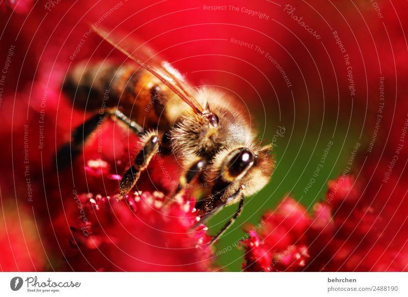 kuschelig Natur Pflanze Tier Sommer Blume Blüte Prachtspiere Garten Park Wildtier Biene Tiergesicht Flügel 1 Blühend Duft fliegen Fressen schön rot rosa