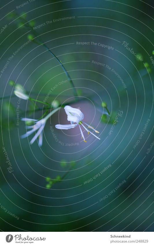 Drehwurm Umwelt Natur Pflanze Tier Blume Gras Sträucher Grünpflanze Wildpflanze Garten Park Wiese beobachten Unschärfe drehen Blütenknospen weiß grün
