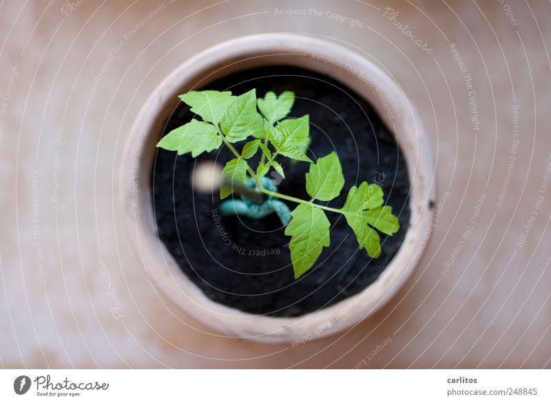 Jeder fängt mal klein an Pflanze Wachstum Tomate Nachtschattengewächse Trieb Blatt züchten Aussaat Blumentopf Terrakotta rund Kreis grün schwarz braun Stab