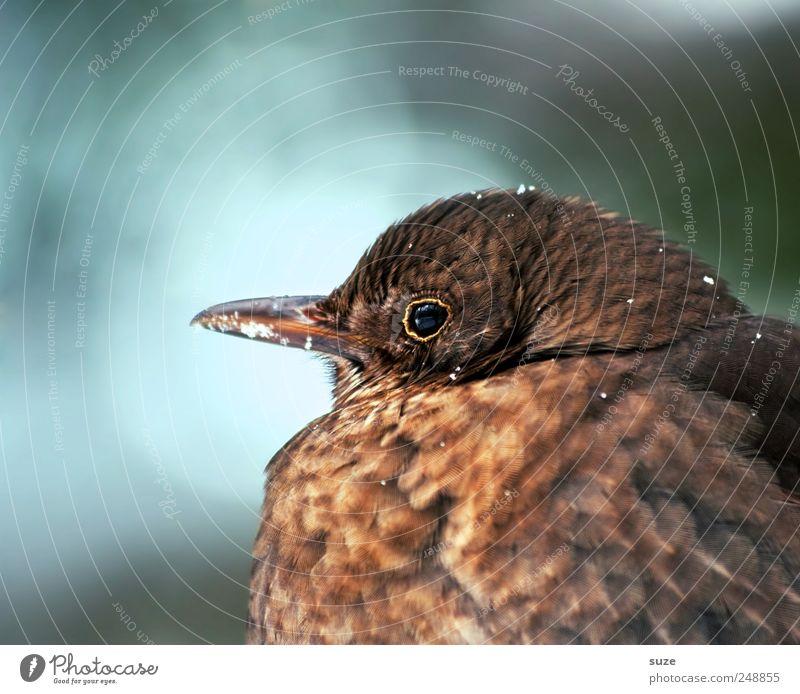 Frau Amsel Natur Pflanze Tier Vogel braun natürlich Wildtier sitzen warten Feder niedlich weich Jahreszeiten dick kuschlig Schnabel