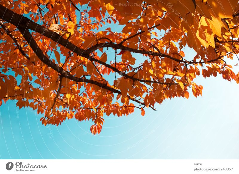Farbenfroh Umwelt Natur Himmel Wolkenloser Himmel Herbst Wetter Schönes Wetter Baum Blatt leuchten alt ästhetisch natürlich schön blau gold Herbstlaub