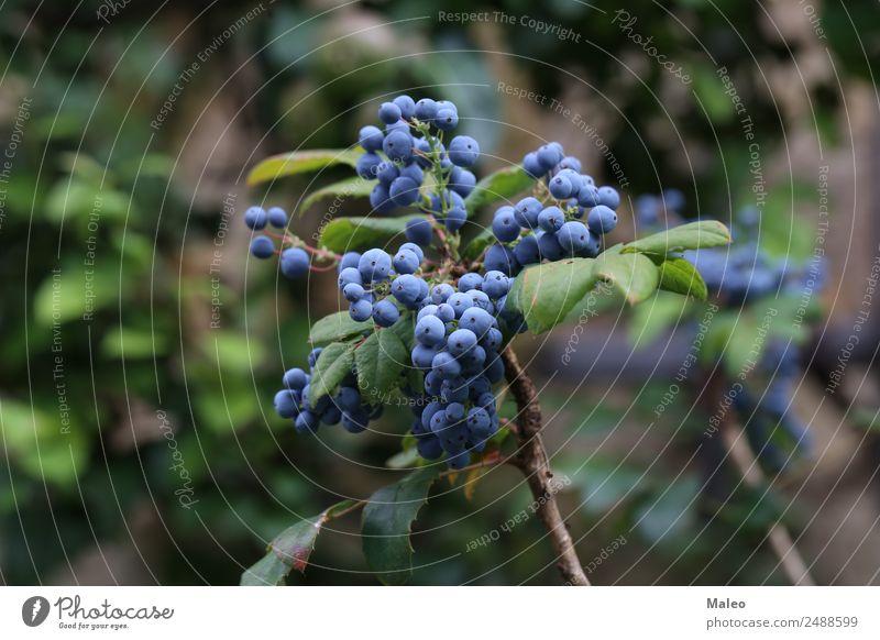 Blaue Beeren blau Ast Herbst Hintergrundbild Sträucher Farbe frisch Frucht Garten Weintrauben grün Gesundheit Gesunde Ernährung Wacholder Makroaufnahme