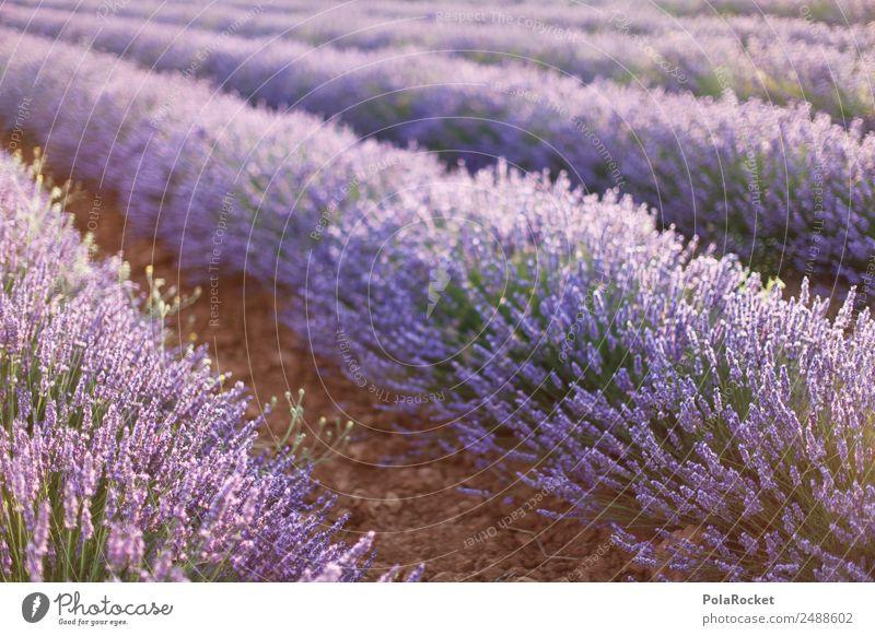 #A# Lila Felder Frühling Kunst Tourismus ästhetisch Idylle Blühend Landwirtschaft violett viele Frankreich Duft Lavendel Provence Lavendelfeld Lavendelernte