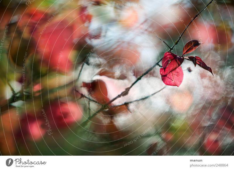 Herbstbeginn Natur Baum Blatt Herbstlaub herbstlich Herbstfärbung Zweige u. Äste authentisch natürlich rot Farbfoto Außenaufnahme Menschenleer Tag Kontrast